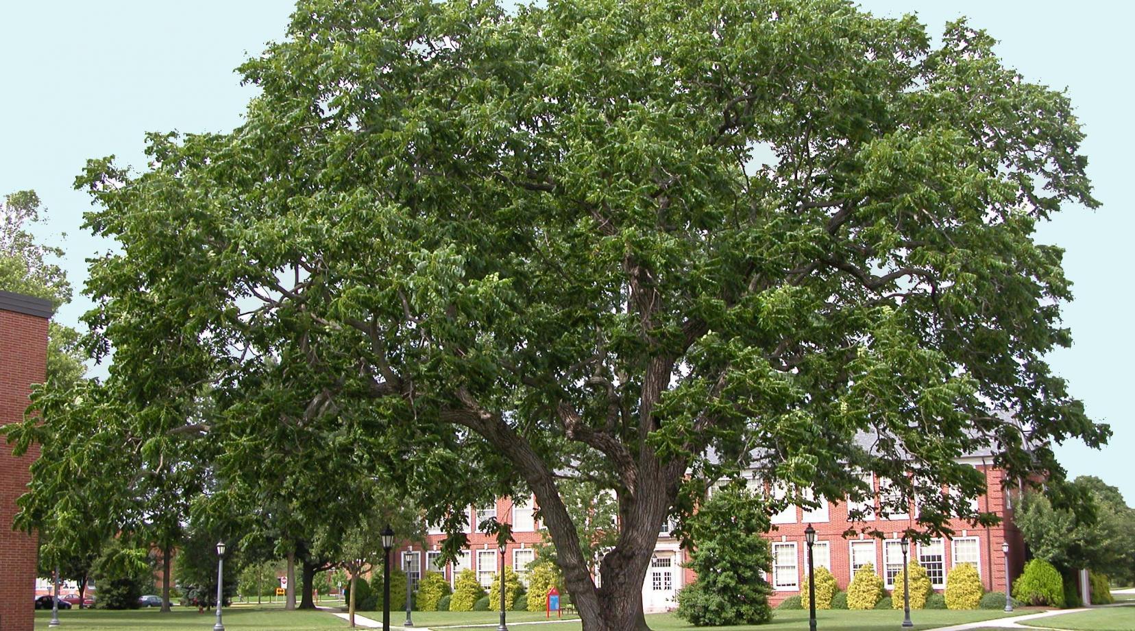 Juglans nigra: Black Walnut