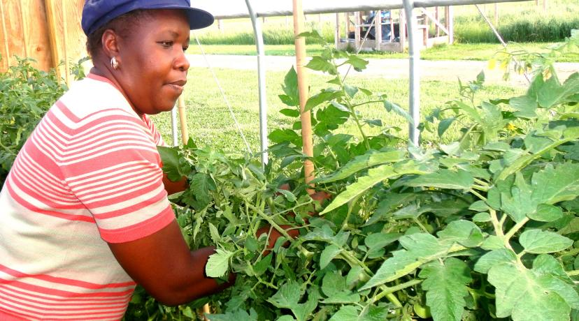 <p>Dr. Rose Ogutu tends tomatoes in high tunnel at DSU Outreach and Research Center.</p>